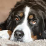 Bernese Mountain Dog Facts, Information & Names