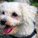 Bichon Frisé Facts, Information & Names