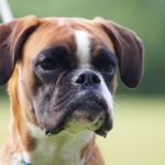 Boxer Facts, Information & Names