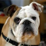 Bulldog Facts, Information & Names