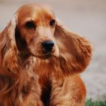 Cocker Spaniel Facts, Information & Names