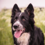 Collie Facts, Information & Names