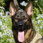 German Shepherd Dog (GSD) Facts, Information & Names