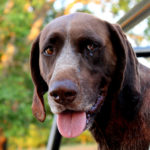 German Shorthaired Pointer (GSP) Facts, Information & Names