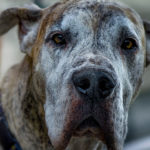 Great Dane Facts, Information & Names