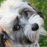 Havanese facts and information