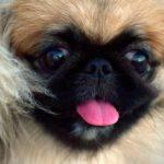 Pekingese Facts, Information & Names