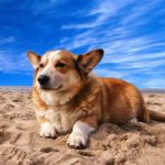 Pembroke Welsh Corgi Facts, Information & Names