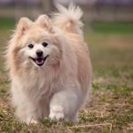 Pomeranian Facts, Information & Names