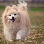 Pomeranian Facts, Information & Names