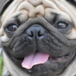 Pug Facts, Information