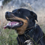 Rottweiler Facts, Information & Names