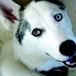 Siberian Husky Facts, Information & Names