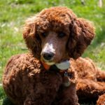 Standard Poodle Facts, Information & Names