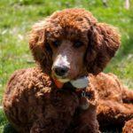 Standard Poodle Facts, Information & Names