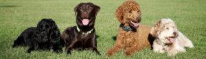 dog breeds labrador poodle cocker bg