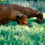 Why Do Dogs Eat Poop and Grass?