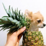 Why Pineapples Stop Dogs Eating Their Poop & 16 Other Fun Facts!