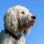 goldendoodle dog