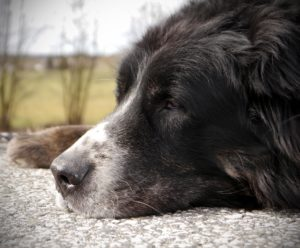 older senior dog sleeping