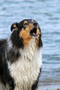 collie-barking