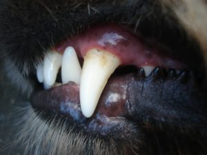 dogs teeth pics