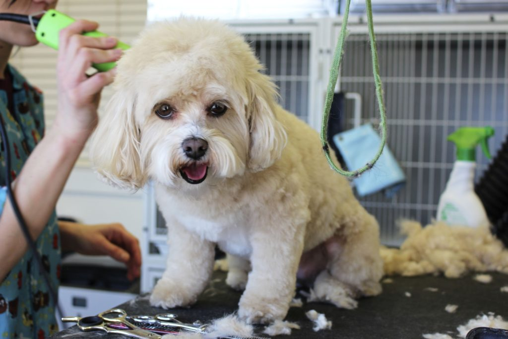grooming poodle dog