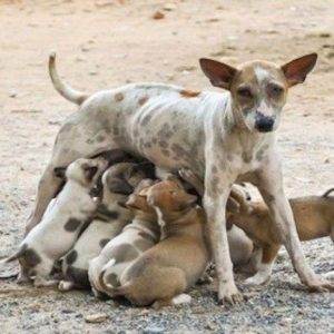 pregnant dogs after being on heat