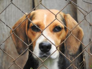 beagle in dog crate