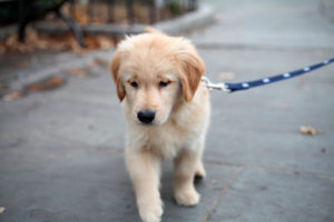 puppy leash training