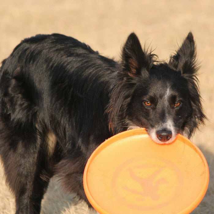 dog frisbee square
