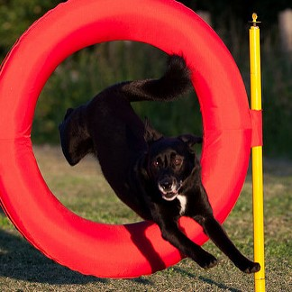 dog hoop square