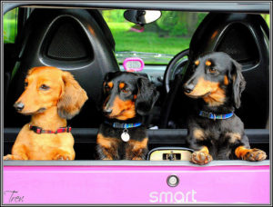 3 dogs in car