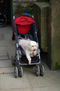 Dog in pram