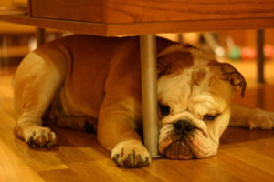 dog under table