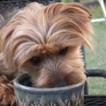 Delightful Dorkie Dogs: Possibly the Cutest Mixed Breed ever!