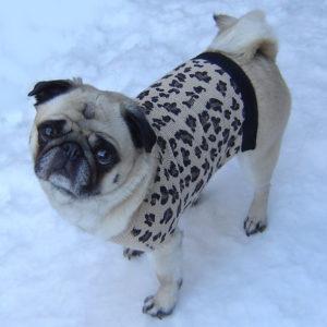 pug sweater