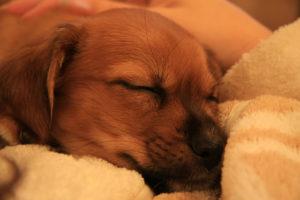 puppy minky