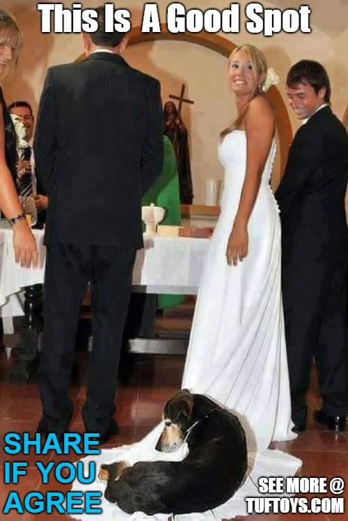 funny picture of a dog choosing a wedding dress as a makeshift seat during the church service.
