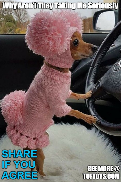 cute picture of small dog looking very girly in an amusing all pink outfit while hoping to be taken seriously driving