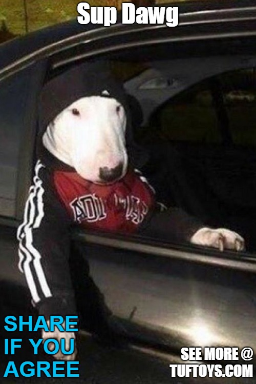 funny bull terrier dog looking very street wise in his bling and chauffeur driven wheels