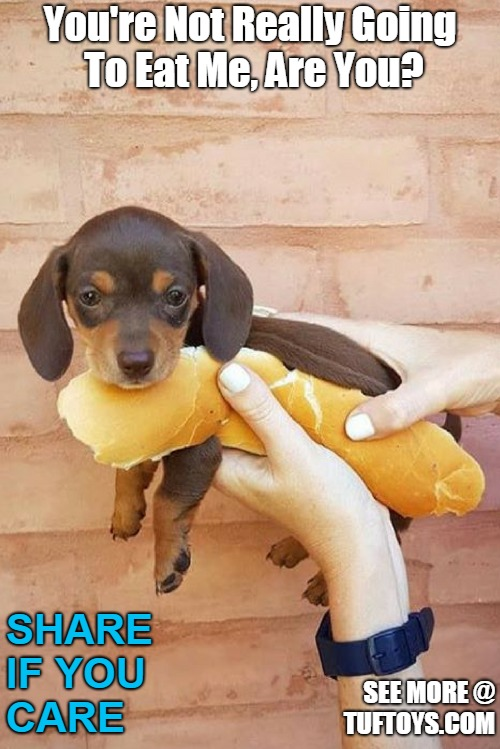 adorable dachshund puppy fearing the end of his short life could be a distinct possibility the way its going
