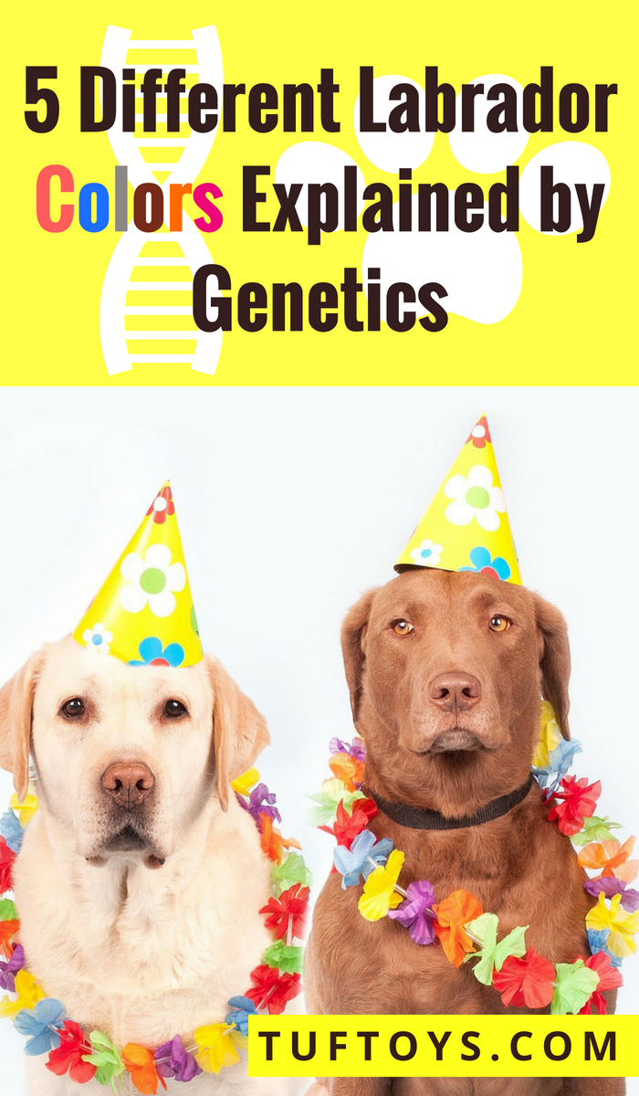 Black Chocolate Brown Silver Yellow Red Lab Genetics Tuftoys
