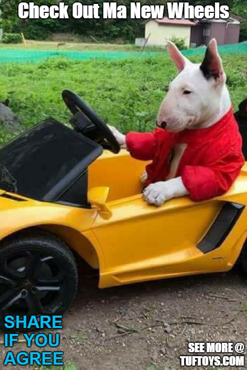 cute picture of cute bull terrier looking very proud showing off his new car
