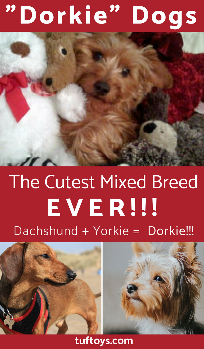 Are dorkies the greatest mixed breed of them all?