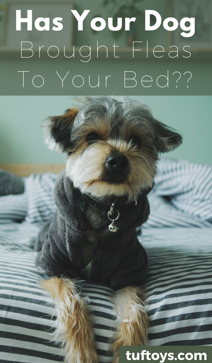 Has your dog brought fleas into your bed?