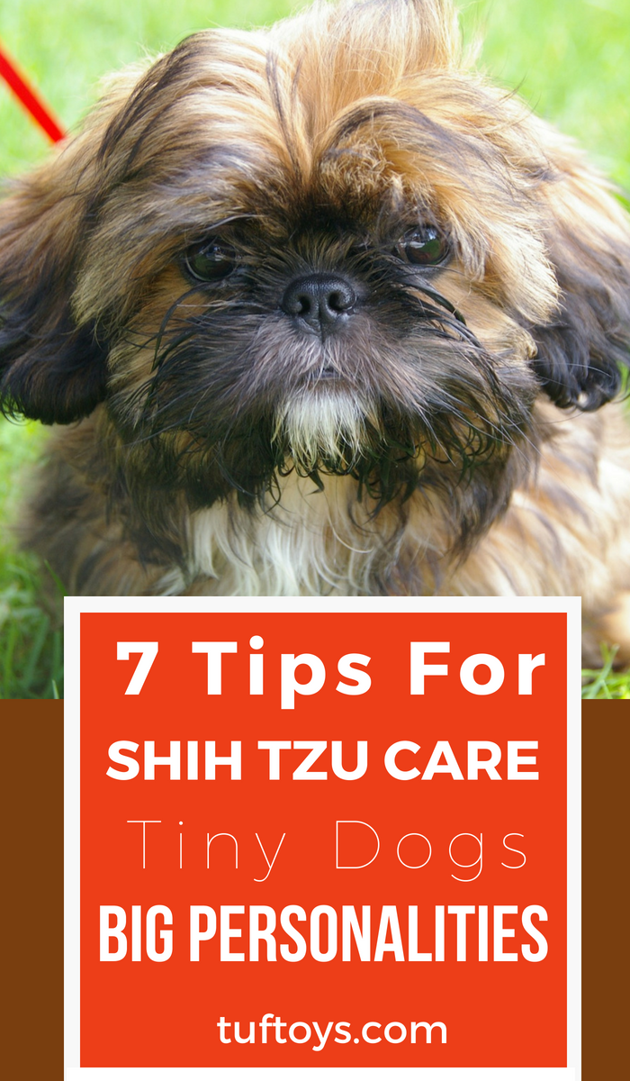 tips for shih tzu care - tiny dogs with big personalities