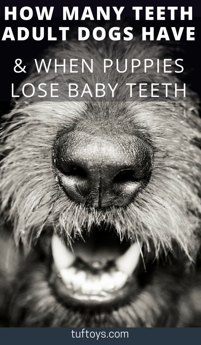How many teeth do adult dogs have and when do puppies lose their teeth