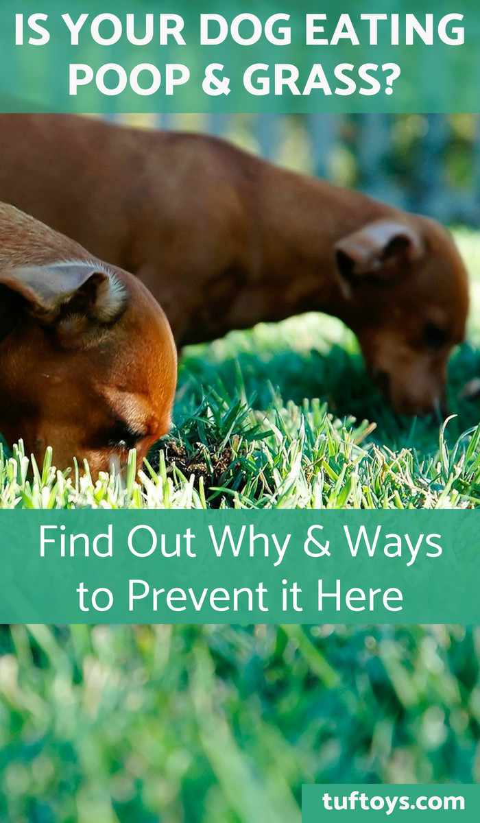Find out why your dog eats poop and grass and how to prevent it