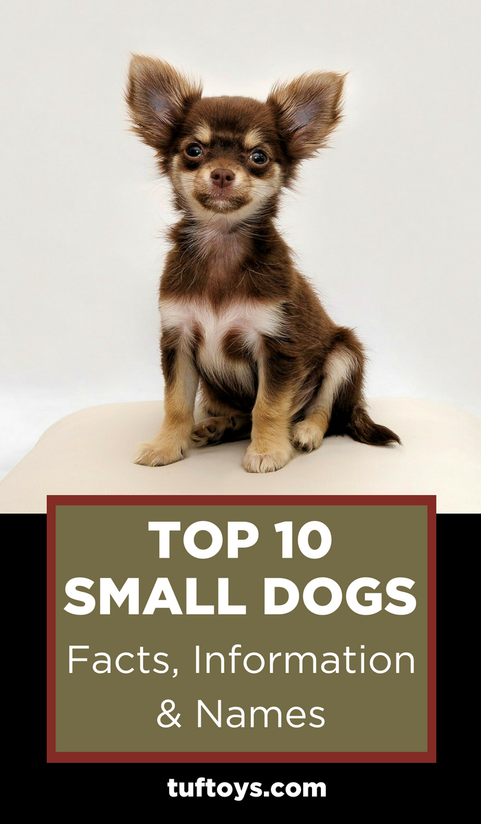 Top 10 Small Dogs Facts, information and names